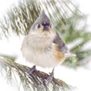 Tufted Titmouse Snow Face Poster