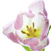 Tulip Bloom 2 Poster