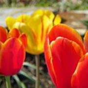 Tulip Celebration Poster by Karen Wiles