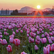 Tulip Field At Sunset Poster