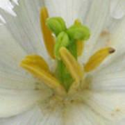 Tulip - Fringed Honeymoon Poster