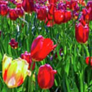 Tulip Garden In Bloom Poster