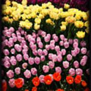 Tulip Greeting Card Poster