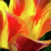 Tulip In Bloom Poster