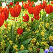 Tulip Lawn On The Flower Island Mainau. Germany. Poster