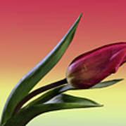 Tulip Love Poster