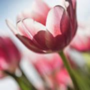 Pink Tulip Closeup Poster