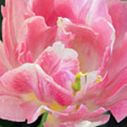 Tulip Peppermint Pink Poster