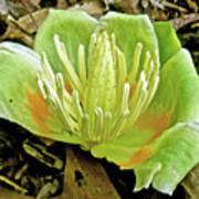 Tulip Poplar Flower - Liriodendron Tulipifera Poster
