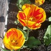 Tulip Red And Orange Poster