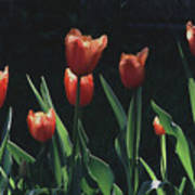 Tulip Red Flair Poster