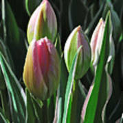 Tulip Series 3 Poster