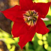 Tulip Star Poster