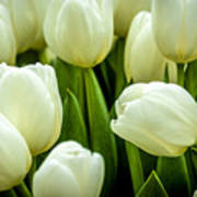Tulips 4 Poster