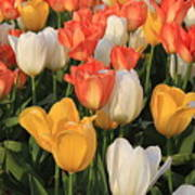 Tulips Ablaze With Color Poster