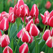 Tulips - Candy Apple Delight 02 Poster