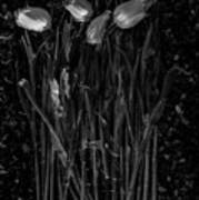 Tulips Decaying At Sunset Poster
