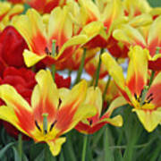 Tulips Glorious Tulip Monsella Poster by Debra  Miller