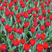 Tulips In Kristiansund, Norway Poster