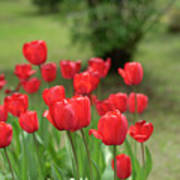 Tulips In Spring 3 Poster