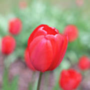 Tulips In Spring 4 Poster