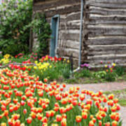 Tulips Lead To The Cabin Poster
