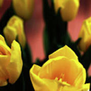 Tulips Poster by Matt Truiano