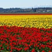 Tulips Of The Skagit Valley Poster