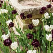 Tulips Surround The Bird Bath Poster