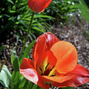 Tulips Wearing Orange Poster