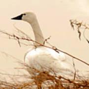 Tundra Swan Poster