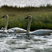 Tundra Swans And Cygents Poster