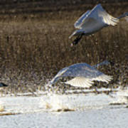 Tundra Swans Take Off 2 Poster