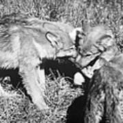 Tundra Wolf Pups Poster