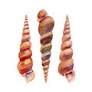 Turetella Shells Poster