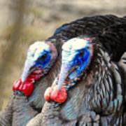 Turkey Prowl Closeup Poster