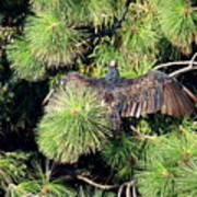Turkey Vulture Spread Two Poster
