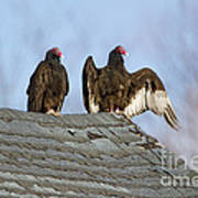 Turkey Vultures On Roof Poster