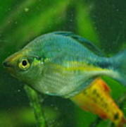 Turquoise Rainbowfish 2 Poster