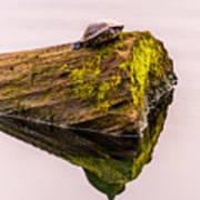 Turtle Basking Poster
