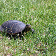 Turtle In The Grass Poster