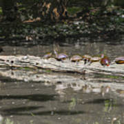 Turtles Sunning On A Log Poster