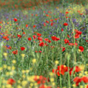 Tuscan Wildflowers Poster