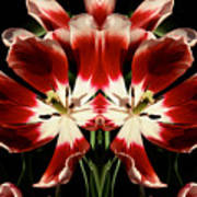 Twin Tulips Poster