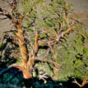 Twisted Bristlecone Poster