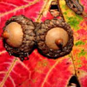 Two Acorns On Tatterd Maple Leaf 2 Poster