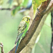 Two Adorable Budgie Parakeets Living In Nature Poster