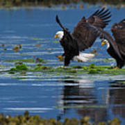 Two American Bald Eagle Touching Down At Low Tide Poster
