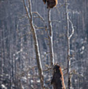Two Bears Up A Tree Poster