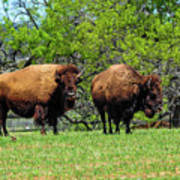 Two Buffalo Standing Poster